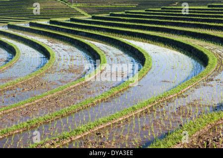 Champ de riz dans la région de Antosari et Belimbing (probablement plus près de Antosari), Bali, Indonésie Banque D'Images