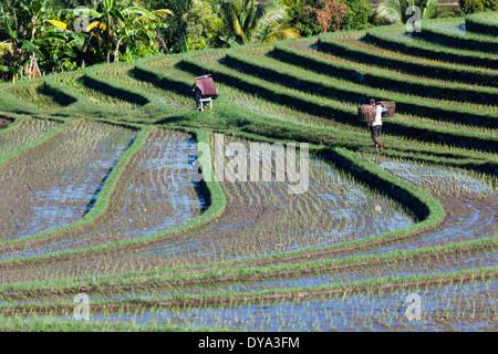 L'homme travaillant sur les rizières dans la région d'Antosari et Belimbing (probablement plus près de Antosari), Banque D'Images