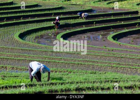 Des gens qui travaillent sur les champs de riz dans la région de Antosari et Belimbing (probablement plus près de Banque D'Images