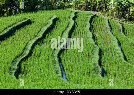 Champ de riz dans la région de Belimbing et Antosari, près de la route menant de Antosari à Pupuan, Tabanan Regency, Banque D'Images