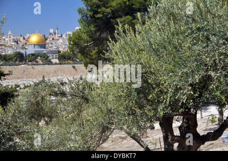 Olivier, Olea europaea, et vue sur la vieille ville de Jérusalem, y compris le Dôme du Rocher mosquée, Jérusalem, Israël
