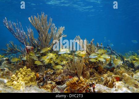 Paysage sous-marin avec un banc de poissons tropicaux dans un récif de corail coloré, l'océan Atlantique, les îles Banque D'Images