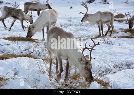 L'alimentation des rennes près de Inari en Laponie, Finlande