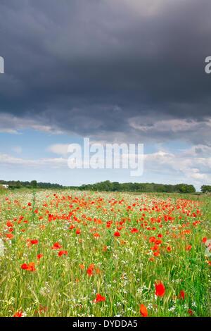Un champ de coquelicots d'été sous un ciel d'orage dans le Norfolk. Banque D'Images