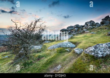 Arbres rabougris qui poussent sur la lande de Bodmin à Helman près de Tor à Cornwall Banque D'Images