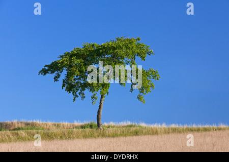 Tilleul solitaire / linden dans champ de blé dans la campagne en été