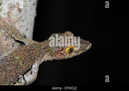 Gecko à queue de feuille moussus (Uroplatus sikorae), photographié de nuit. Banque D'Images