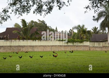 Coq (Gallus gallus domesticus) menant les poulets en travers de pelouse Banque D'Images