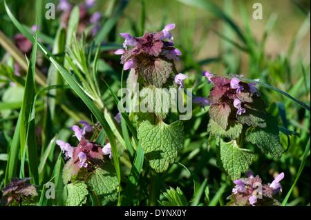 La floraison red dead-nettle Lamium purpureum, fleurs,