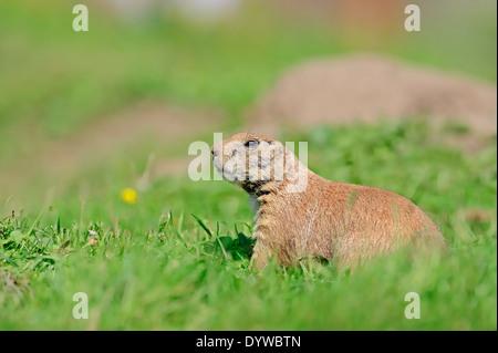 Chien de prairie (Cynomys ludovicianus) Banque D'Images