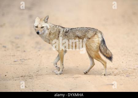 Le chacal doré (Canis aureus) marcher sur le sable.
