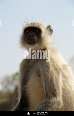 Animaux singe Langur Hanuman (Semnopithecus) portrait. Banque D'Images