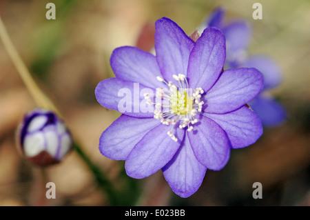 L'hépatique (Hepatica nobilis) croissant sur la forêt de moss