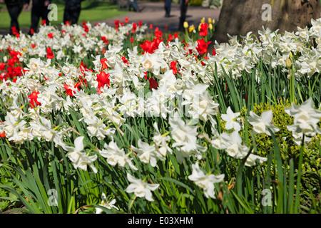 Narcissi blanc narcissus fleurs fleuries et tulipes rouges tulipe Au printemps de la frontière mixte York North Yorkshire Angleterre United Royaume