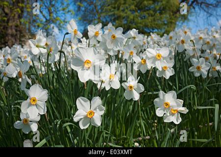 Fleurs blanches narcissi narcisse fleur floraison au printemps Angleterre Royaume-Uni Royaume-Uni Grande-Bretagne
