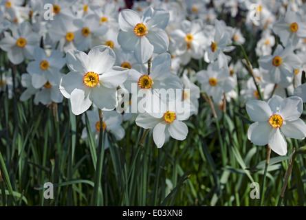Gros plan de narcissi blanc narcisse fleurs fleuries fleurs dans Printemps Angleterre Royaume-Uni Royaume-Uni Grande-Bretagne