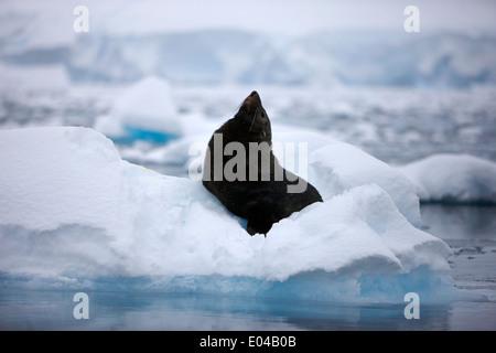 La fourrure de l'étirement jusqu'à la taille de l'exagération flottant sur iceberg en Antarctique baie Fournier