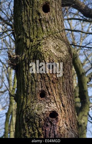 Les trous de pic en tronc d'arbre Banque D'Images