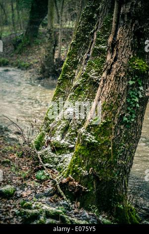 Vieux et patiné sur le tronc des arbres dans une forêt Banque D'Images