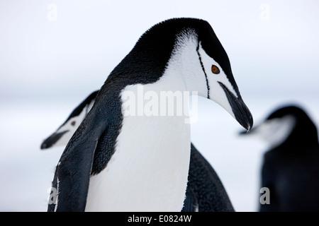 Gamla avec gros plan sur les yeux de l'Antarctique point hannah Banque D'Images