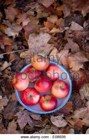 Directement au-dessus de coup de bol plein de pommes Banque D'Images