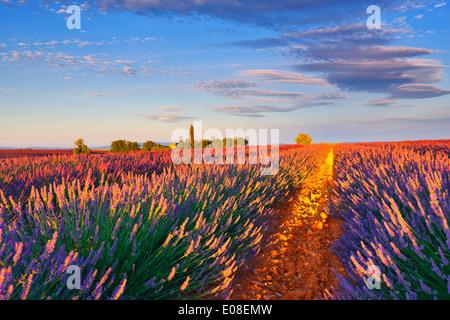 Champ de lavande dans la matinée. Valensole, Provence - France. Banque D'Images