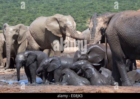 Les éléphants d'Afrique (Loxodonta africana) bébés dans l'eau, l'Addo Elephant National Park, Afrique du Sud, février Banque D'Images