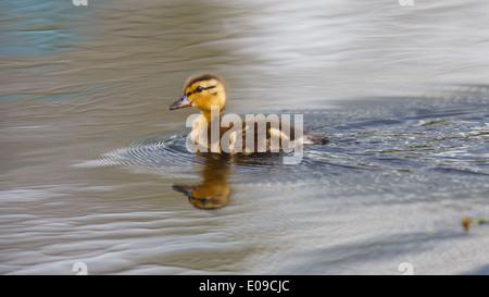 Une seule piscine baby duck sur eaux calmes dans un étang tout en faisant des ondulations Banque D'Images