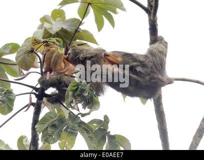 Un paresseux tridactyle ou Brown-throated Sloth (Bradypus variegatus) se nourrit de feuilles. Parc National de Tortuguero, Banque D'Images