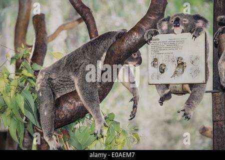 L'Australie, Qeensland, Magnetic Island, mère et bébé Koala en sanctuaire, Banque D'Images