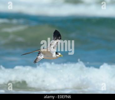 Sterne naine (Sterna albifrons ou Sternula albifrons) - Fraser Island - Queensland - Australie
