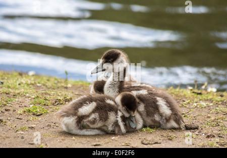 Jolies jeunes oisons Egyptian goose (Alopochen aegyptiaca), oies, snuggle ensemble à Isabella Plantation, Richmond Park, London, UK Banque D'Images