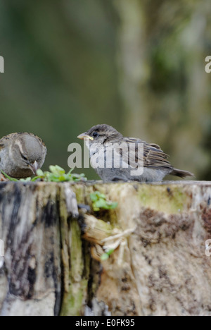 Les oiseaux de jardin au Pays de Galles: sparrow nourrit son jeune et exigeant sur les jeunes trouvés sur une souche Banque D'Images