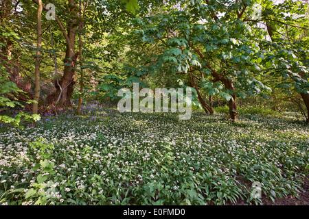 Ramsons (ail sauvage) et de jacinthes des bois en floraison sur West End commun. Esher, Surrey, Angleterre. Banque D'Images