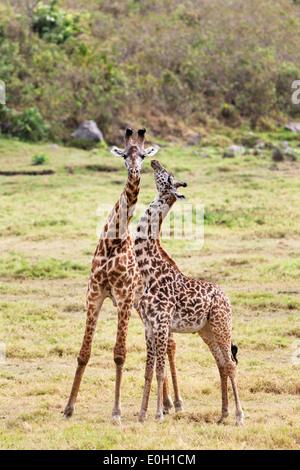 Deux Girafes Massai, Giraffa camelopardalis, Parc National d'Arusha, Tanzanie, Afrique orientale, Afrique du Sud Banque D'Images