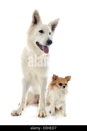 Berger Blanc Suisse pure race et chihuahua in front of white background Banque D'Images