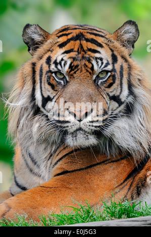 Tigre de Sumatra (Panthera tigris sumatrae, Panthera sumatrae), homme Banque D'Images