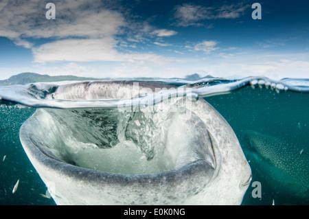 Requin-baleine, la bouche ouverte, Cenderawasih Bay, en Nouvelle Guinée, Indonésie (Rhincodon typus) Banque D'Images