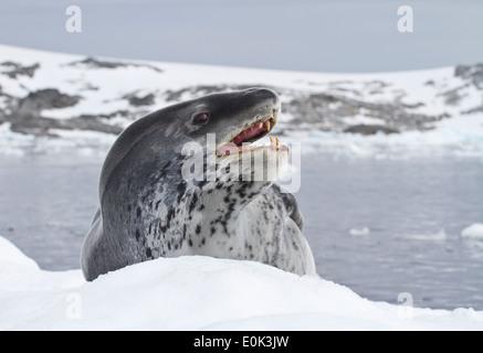 Leopard seal qui se trouve sur un banc de glace près de la côte antarctique Banque D'Images