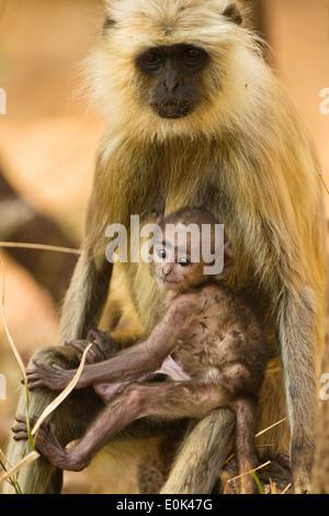 Hanuman (gris) Langur mother with baby, Pench National Park, Madhya Pradesh, Inde (Semnopithecus animaux singe) Banque D'Images