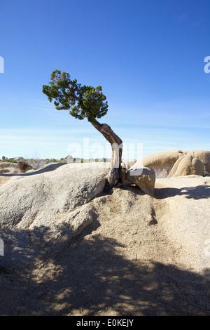 Un routeur Juniper tree pousse dans les rochers dans Jumbo Joshua Tree National Park Banque D'Images