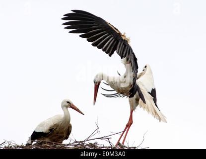 European Cigogne Blanche (Ciconia ciconia) l'atterrissage sur le nid, en attente partenaire Banque D'Images