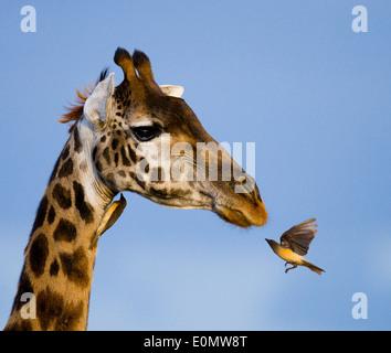 La girafe et l'oxpecker, Parc National de Masai Mara, Kenya (Giraffa camelopardalis), (Buphagus sp.) Banque D'Images