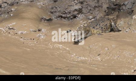 Un Crocodile (Crocodylus acutus) sur le fond boueux de la rivière Tempisque, Parc National Palo Verde, Costa Rica.