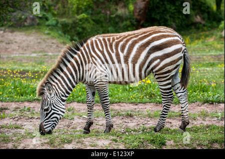 Le zèbre de Burchell (Equus quagga burchellii) herbe de pâturage Banque D'Images