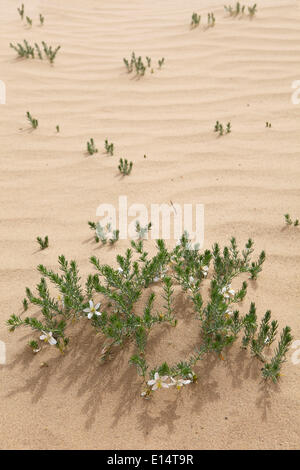Rue de Syrie (Peganum harmala) dans les dunes de Khongoryn Els, Gobi Gurvansaikhan National Park, désert de Gobi, Banque D'Images