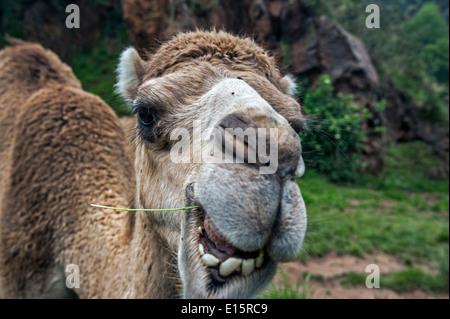 """Le dromadaire / chameau d'Arabie / Indian camel (Camelus dromedarius) close up of chef de mâcher de l'herbe"""" Banque D'Images"""