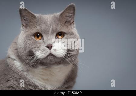 British Shorthair Cat Banque D'Images