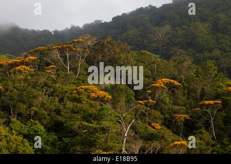 Floraison: de mai arbres dans Altos de Campana national park, République du Panama. Cet événement annuel a lieu normalement en mai.