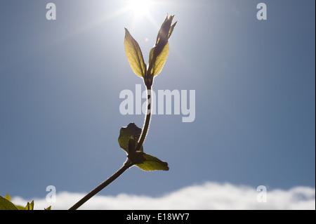 Croissance d'un arbrisseau atteignant jusqu'au soleil Banque D'Images